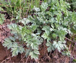 Lucid Dream Garden Plant #1- Mugwort