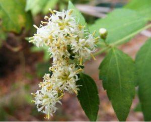 Lucid Dream Garden Plant #2- Dream herbs
