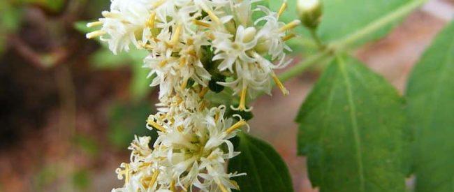 Calea_ternifolia