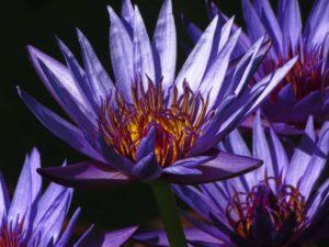 blue lotus nymphaea caerulea