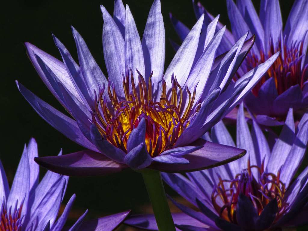 Activate your third eye with these 3 sacred herbs blue lotus nymphaea caerulea blue lotus flower izmirmasajfo