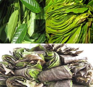 Fresh Guayusa Leaves and Rolls