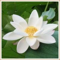 Lotus Oil